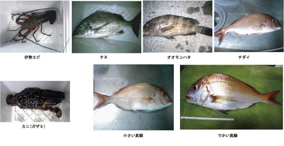 錦江湾の堤防から釣れる魚たち(真鯛、チダイ、オオモンハタ、チヌ、ガザミ、伊勢海老)