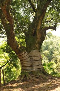 西別府の抱地に残るヤマモモの木