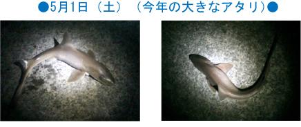 錦江湾谷山港の防波堤であがったサメ