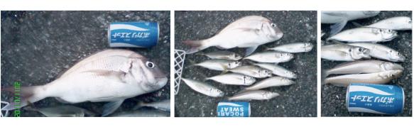 錦江湾、谷山港の堤防で真鯛とアジ・キスの釣果